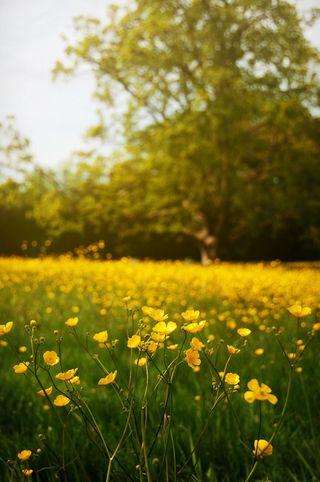 Buttercups_09_May__090512_buttercups_002